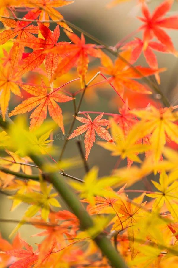 Hojas del rojo en otoño imagen de archivo libre de regalías