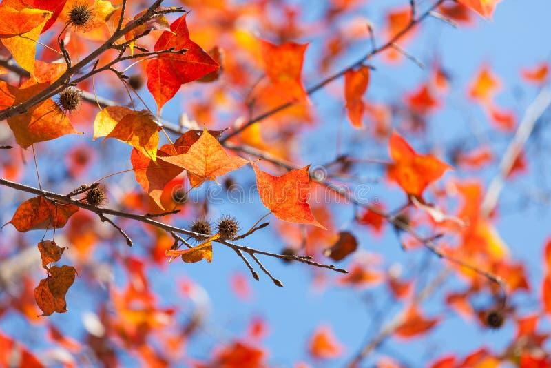 Hojas del rojo en otoño imagen de archivo