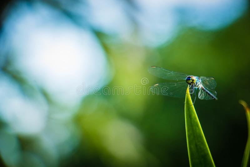 Hojas del saltamontes de la libélula con el fondo verde borroso imagen de archivo libre de regalías