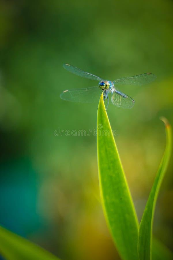 Hojas del saltamontes de la libélula con el fondo verde borroso imágenes de archivo libres de regalías