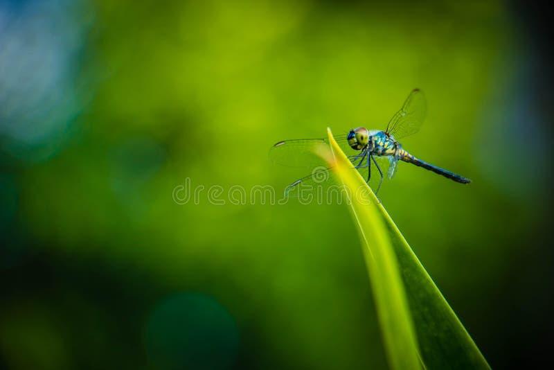 Hojas del saltamontes de la libélula con el fondo verde borroso foto de archivo
