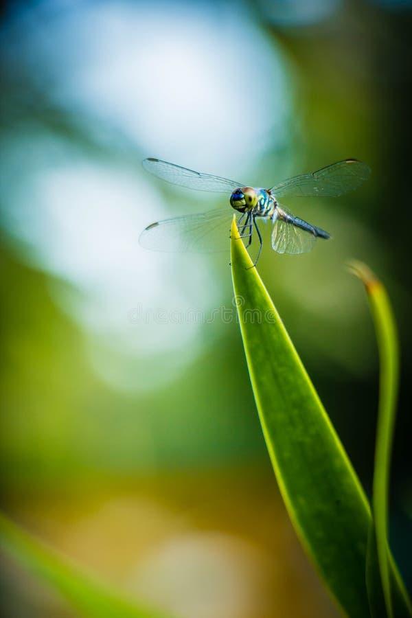 Hojas del saltamontes de la libélula con el fondo verde borroso imagenes de archivo