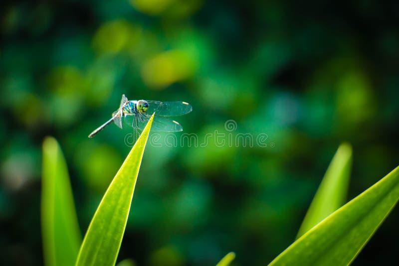 Hojas del saltamontes de la libélula con el fondo verde borroso foto de archivo libre de regalías