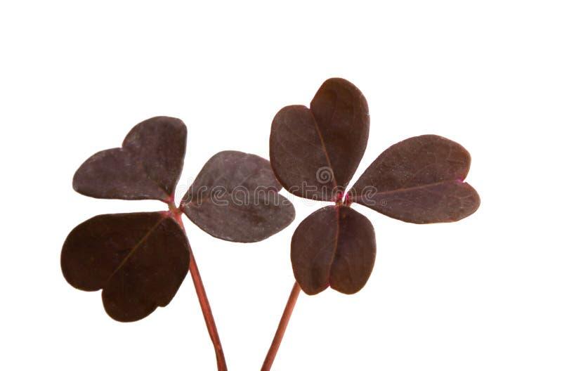 hojas del trébol rojo aisladas imagenes de archivo