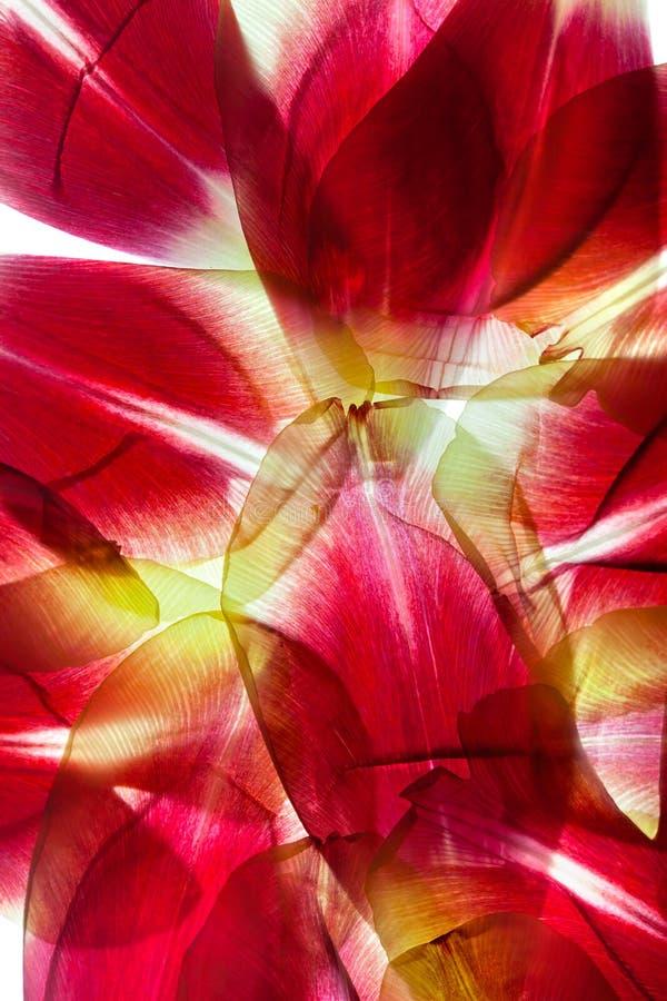 Hojas del tulipán imagenes de archivo
