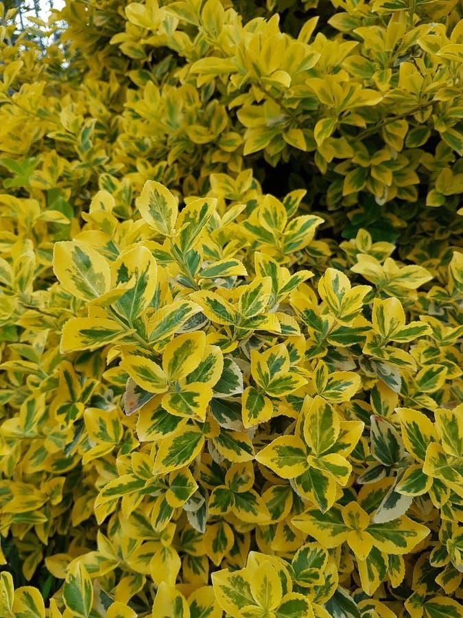 hojas del verde amarillo imagen de archivo