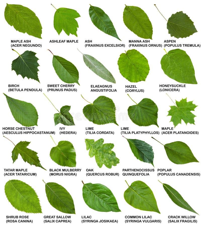 Hojas del verde de rboles y arbustos con nombres imagen for Arboles de hoja caduca y perenne nombres