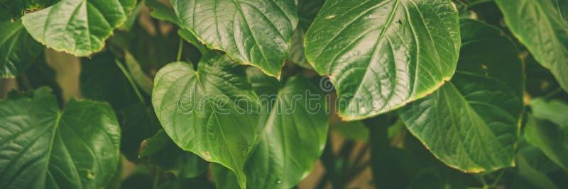 Hojas del verde de la bandera de las plantas tropicales, fondo verde del verano de la selva foto de archivo libre de regalías