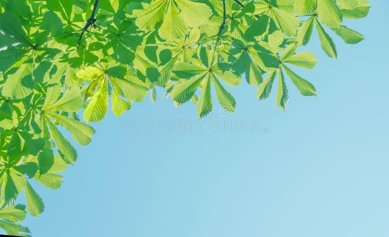 Hojas del verde de la castaña contra el cielo azul imagenes de archivo