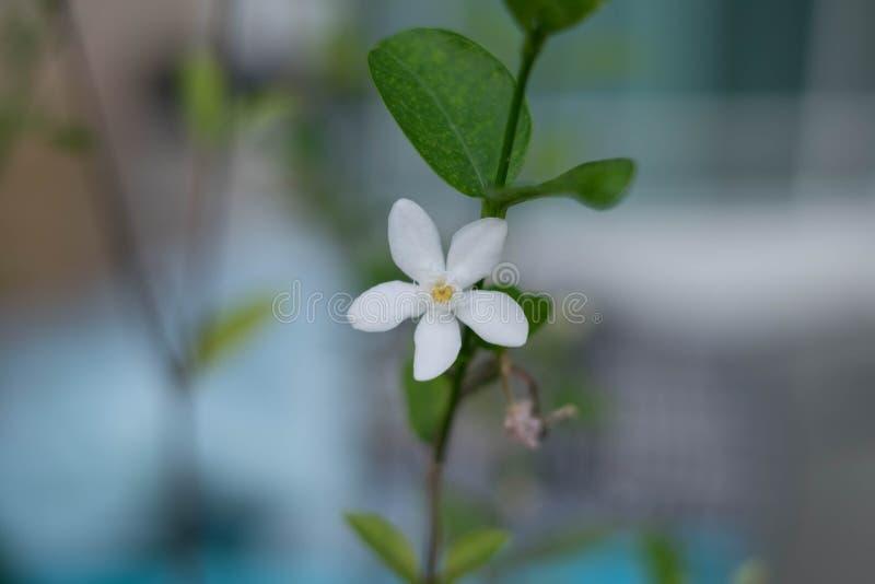 Hojas del verde de la flor blanca con la rama imagen de archivo