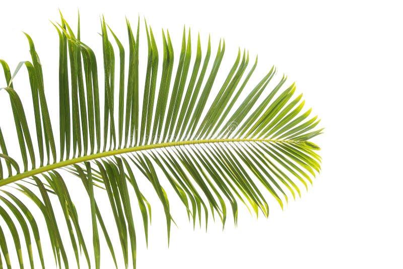 Hojas del verde de la palmera aisladas en el fondo blanco stock de ilustración