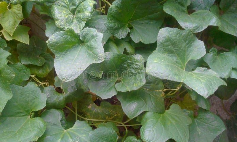 Hojas del verde de la planta de la lufa foto de archivo libre de regalías