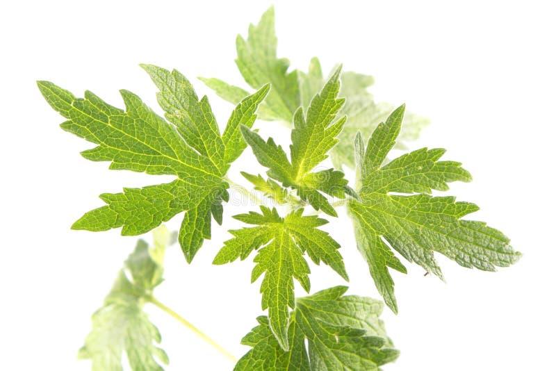Hojas del verde de la planta joven del motherwort aislada en el fondo blanco imagen de archivo libre de regalías
