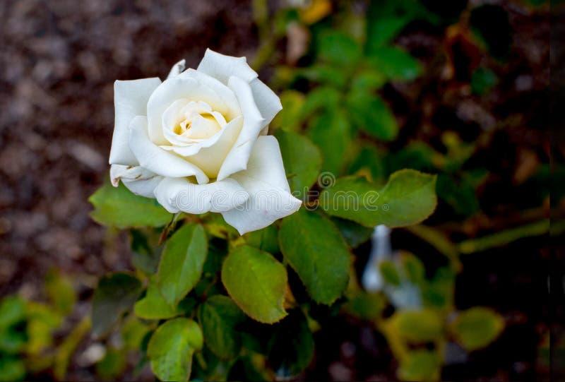 Hojas del verde de Rose blanca imagenes de archivo