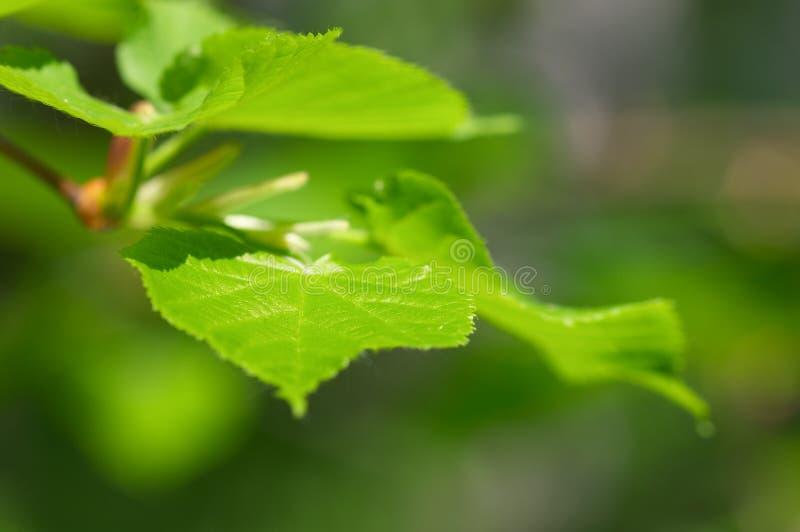 Hojas del verde del árbol de cal foto de archivo