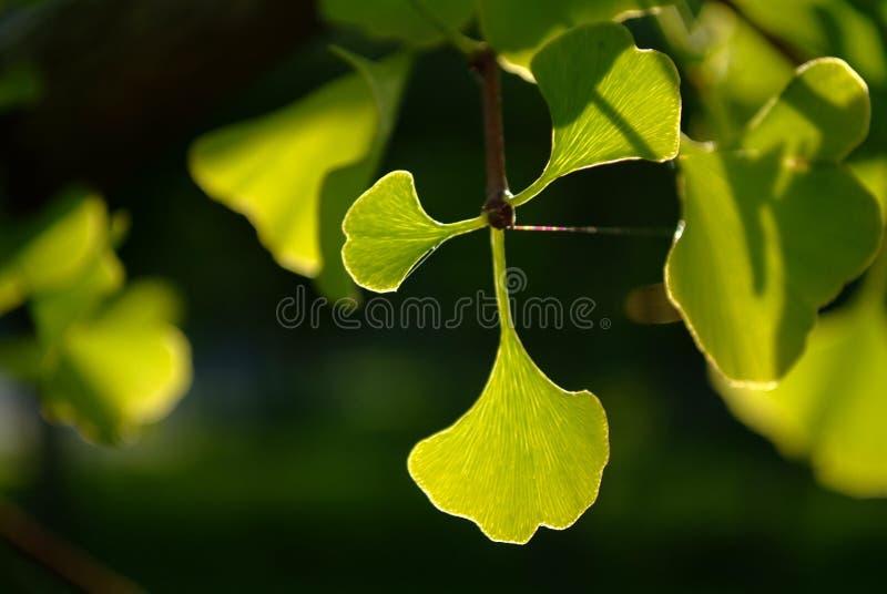 Hojas del verde del biloba del Ginkgo foto de archivo