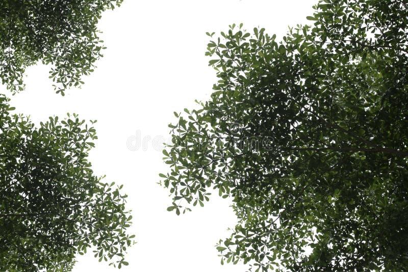 Hojas del verde en el fondo blanco fotos de archivo libres de regalías