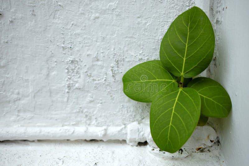 Hojas del verde en el muro de cemento blanco fotos de archivo libres de regalías
