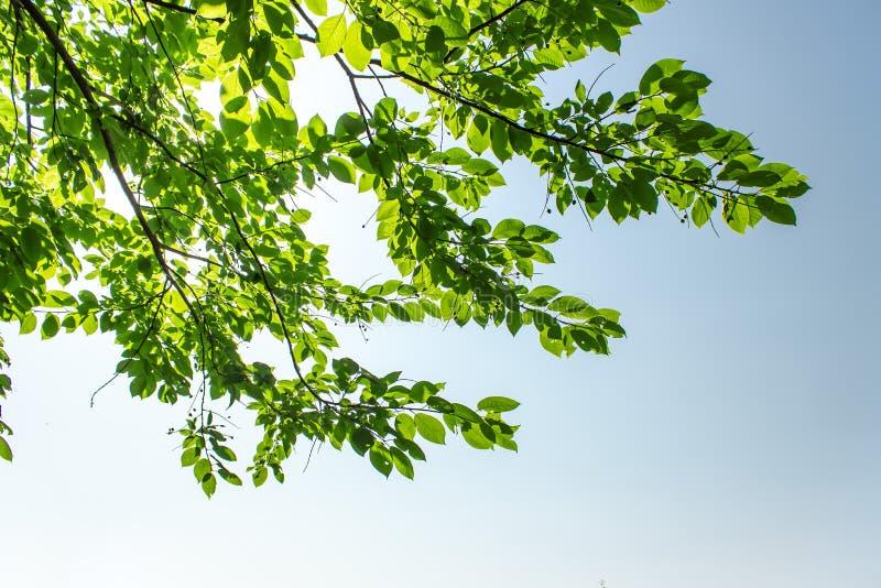 Hojas del verde en fondo del cielo azul imagen de archivo