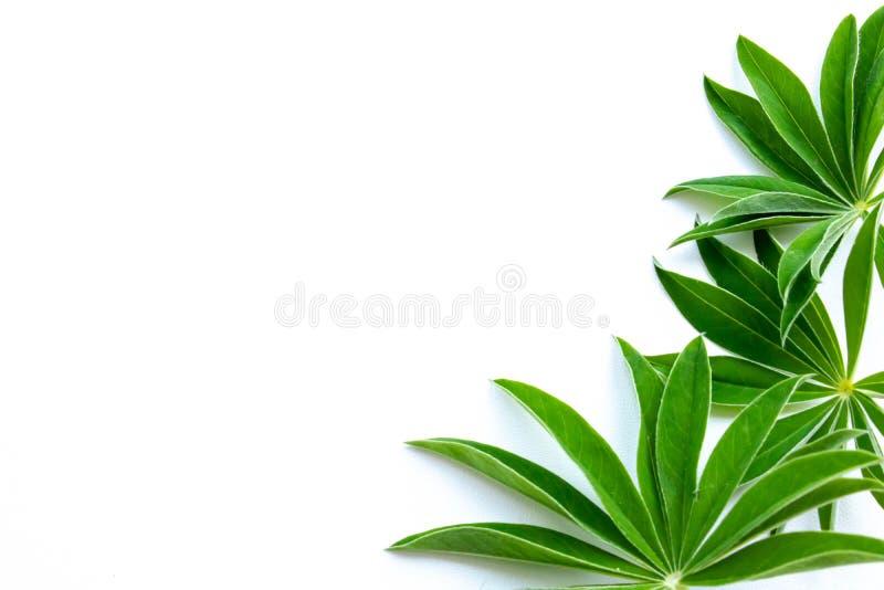 Hojas del verde en un fondo blanco fotografía de archivo
