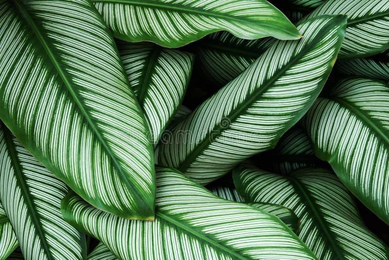 Hojas del verde del follaje con White Stripes del majestica de Calathea, planta de la cebra como fondo natural de la textura imágenes de archivo libres de regalías