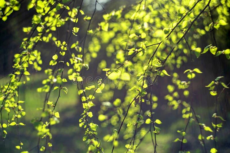 Hojas del verde del resorte Fresco, brotes Concepto de la naturaleza de la primavera imagenes de archivo