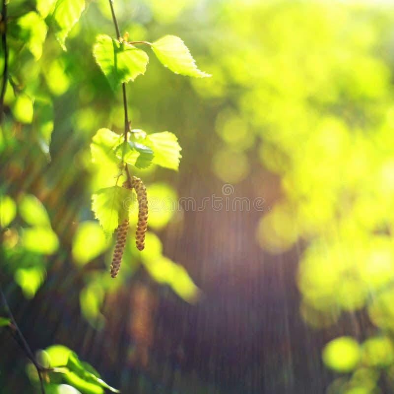 Hojas del verde del resorte Fresco, brotes Concepto de la naturaleza de la primavera fotos de archivo