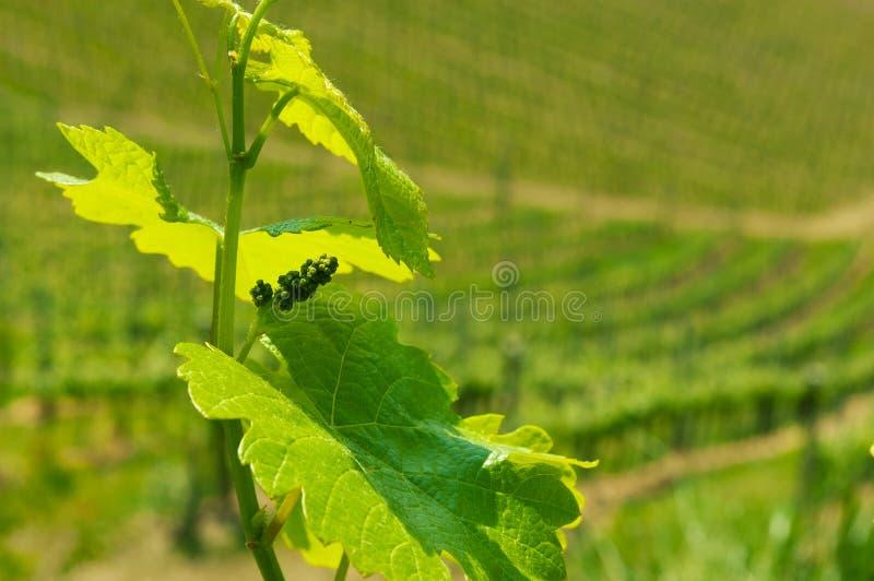 Hojas del vino y uvas del bebé con las cuestas del viñedo en fondo fotos de archivo