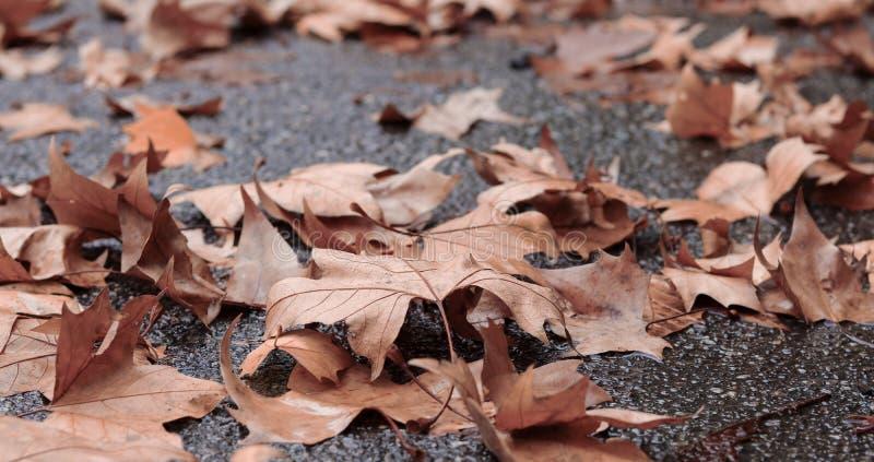 Hojas descoloradas caidas del marrón del arce del otoño en el asfalto mojado en día lluvioso de la última caída imágenes de archivo libres de regalías