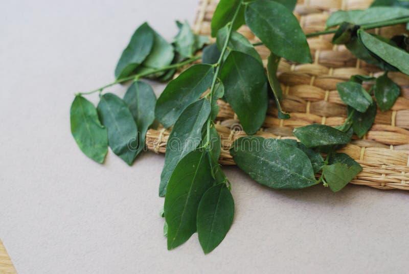 Hojas dulces de la hoja de Katuk en fondo neutral imagen de archivo