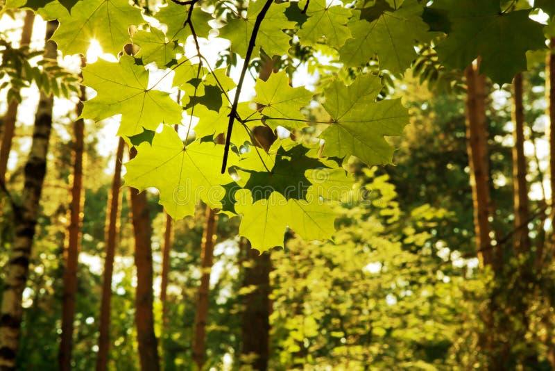 Hojas en luz del sol foto de archivo