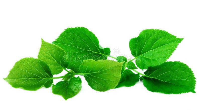 Hojas enormes del verde de las hojas verdes frescas aisladas en el fondo blanco fotos de archivo
