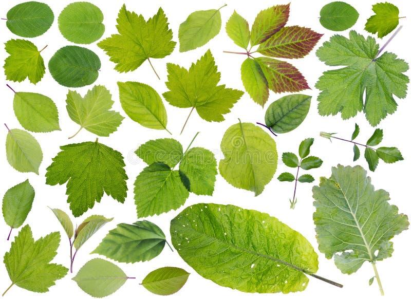 Hojas europeas de las plantas fijadas foto de archivo