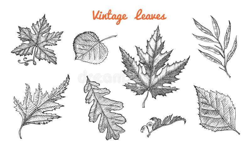 Hojas fijadas, flor e hierba medicinal Planta decorativa rústica Casarse el jardín botánico Ilustración del vector grabado libre illustration