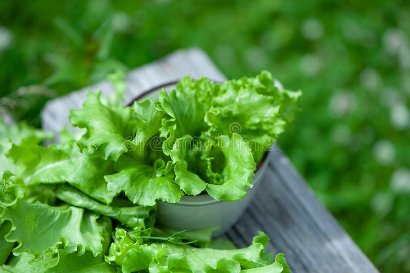 Hojas frescas de la lechuga, cierre para arriba, alimento biológico, agricultura y conccept hidropónico, fotografía de archivo libre de regalías