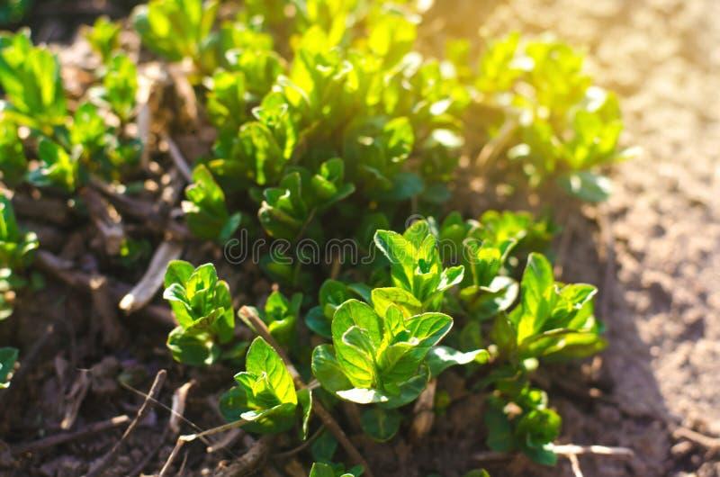 Hojas frescas de la menta joven verde crecer en el jardín Papel pintado natural Aromatherapy Foco selectivo fotos de archivo
