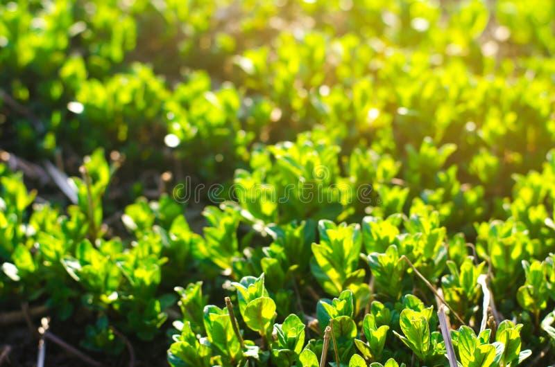 Hojas frescas de la menta joven verde crecer en el jardín Papel pintado natural Aromatherapy Foco selectivo imagen de archivo