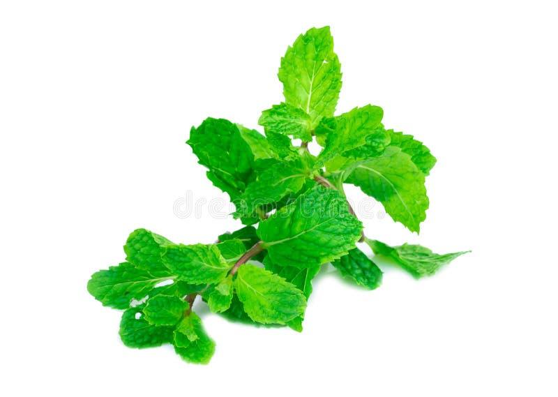 Hojas frescas de la menta verde aisladas en el fondo blanco imagen de archivo