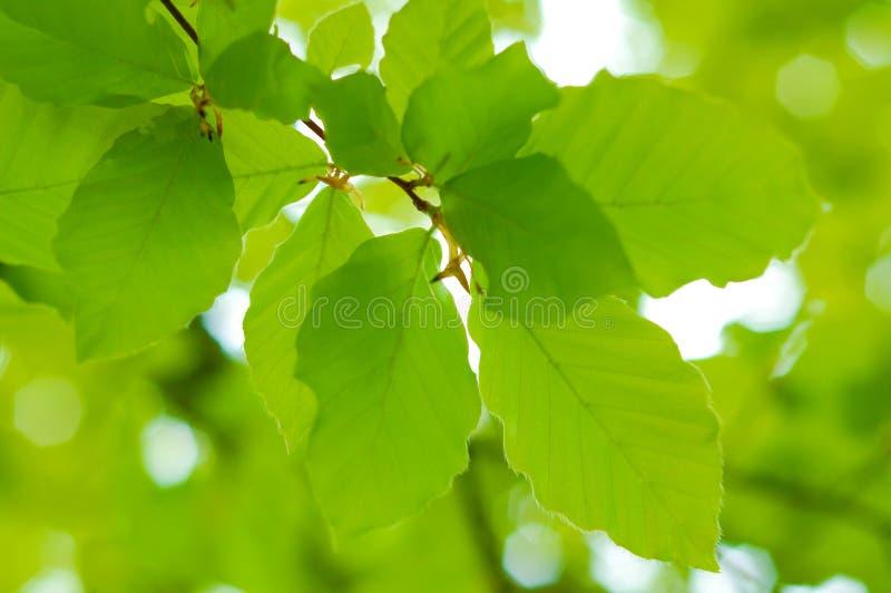 Hojas frescas del verde del resorte sobre fondo blured fotografía de archivo