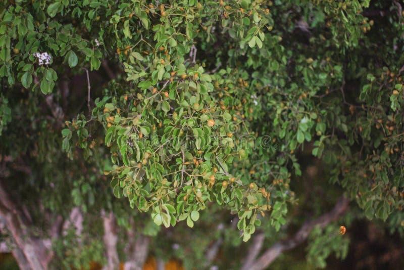 Hojas frondosas del papel pintado y del fondo de los árboles del incienso usados como el papel pintado y fondo texturizado foto de archivo libre de regalías