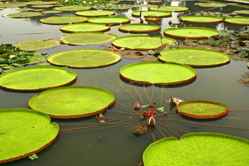 Hojas gigantes de los lirios de agua amazónicos fotos de archivo libres de regalías