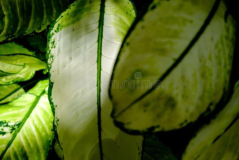 Hojas grandes del verde con la luz del sol que brilla a través imagen de archivo