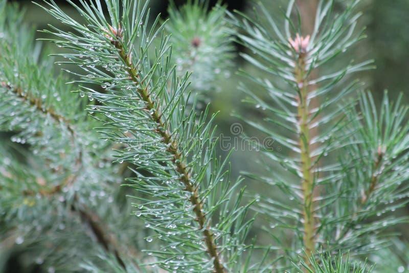 Hojas húmedas del árbol de pino con las gotitas de agua imagen de archivo