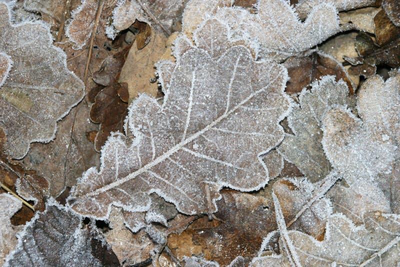 Hojas heladas en invierno imagen de archivo libre de regalías