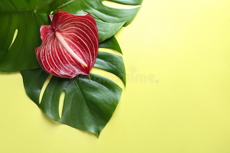 Hojas hermosas de la flor y del monstera del Anthurium en fondo del color imagen de archivo