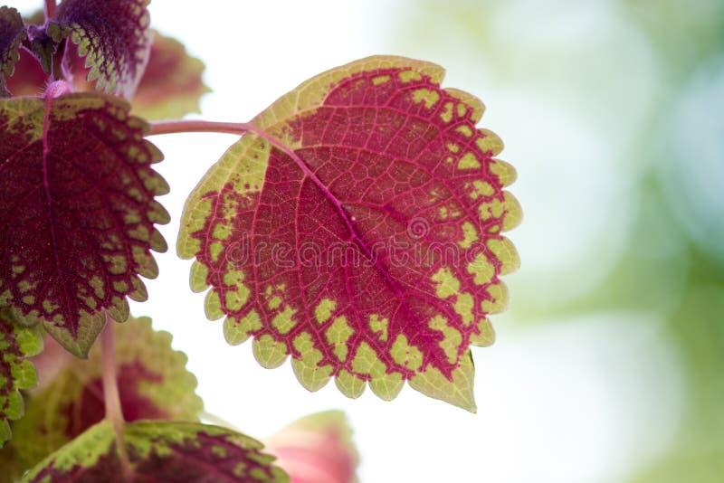 Hojas hermosas verdes y rojas de una planta imagen de archivo libre de regalías