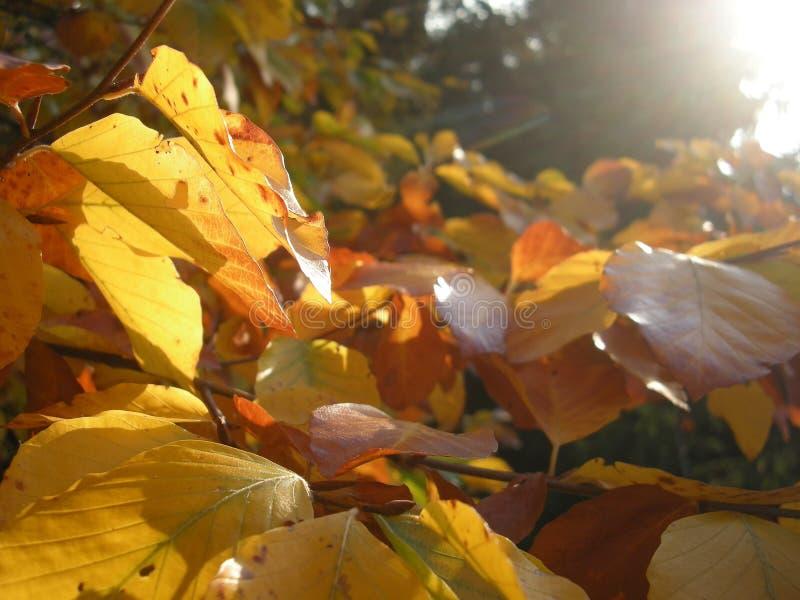 Hojas iluminadas por el sol de un árbol imagen de archivo