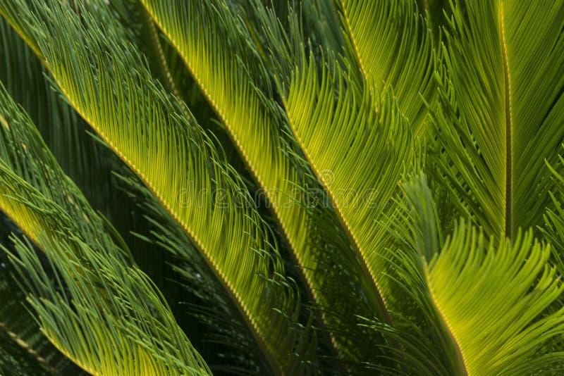 Hojas iluminadas por el sol de una palmera imagenes de archivo