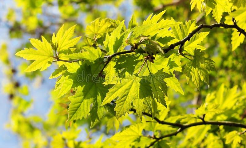Hojas iluminadas por el sol del árbol del sicómoro imagenes de archivo