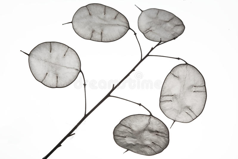 Hojas inusuales con una extremidad en contraluz Textura de las hojas aisladas en el fondo blanco Estilo de Eco, materiales natura imagen de archivo